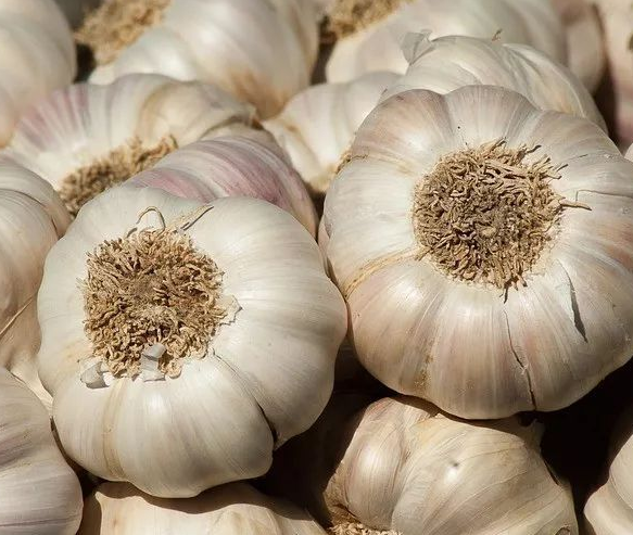 Chinese garlic